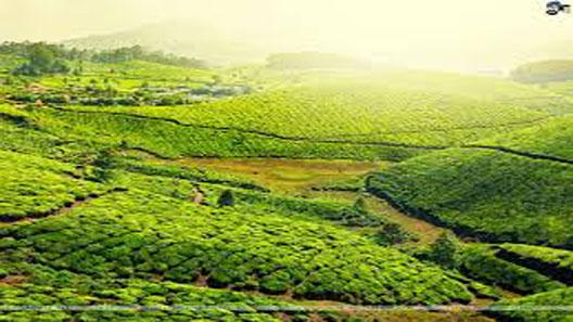 Tea Harvesting Automation